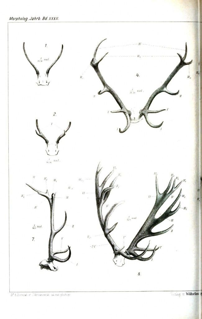 Animal - Deer - Antlers, comparative anatomy 1 | tattoo art ...