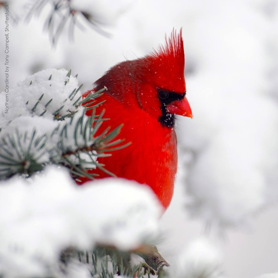 There are few things more beautiful than cardinals in the - Pictures of cardinals in snow ...