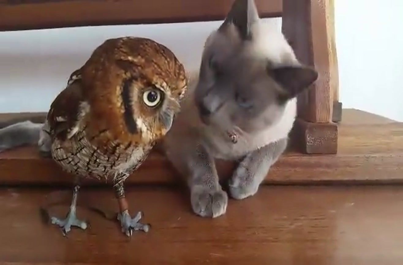 Siamese Cat And Little Owl Are Best Friends Felin Chat Siamois