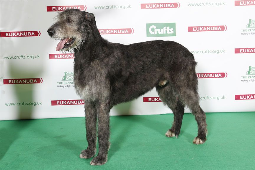 Irish Wolfhound Ger Bel Dutch Lux Ch Just In Time Of First