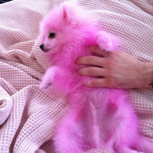 Pink Pomeranian Google Search Pink Puppy Dog Dye Pomeranian Dog
