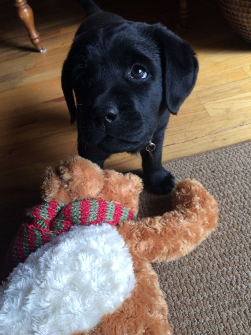 Black Lab Puppy Caught Attacking The Innocent Stuffed Animal