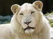 Mr. White Lion the lover. :)