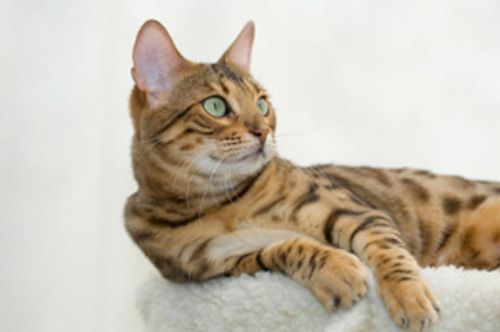 Cha Ching Cat Breeds Cats Domestic Cat