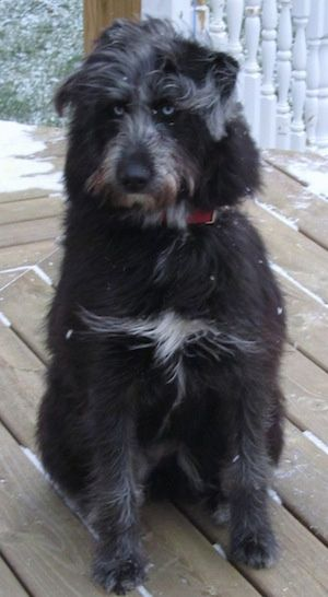 Front View A Longhaired Wavy Coated Blue Eyed Black With