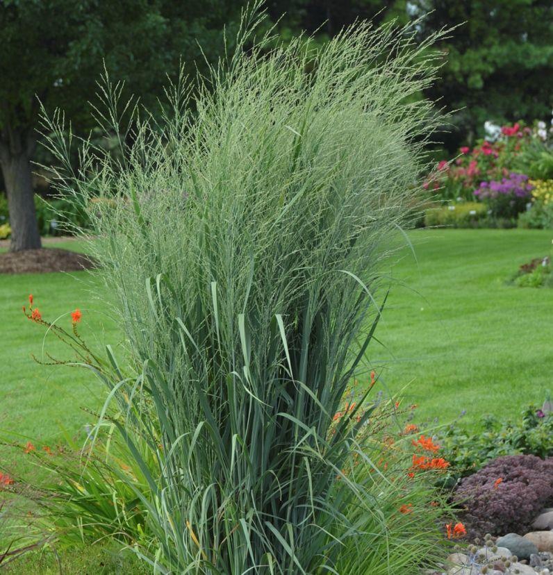Panicum Prairie Winds 'Totem Pole' Plants, Erosion