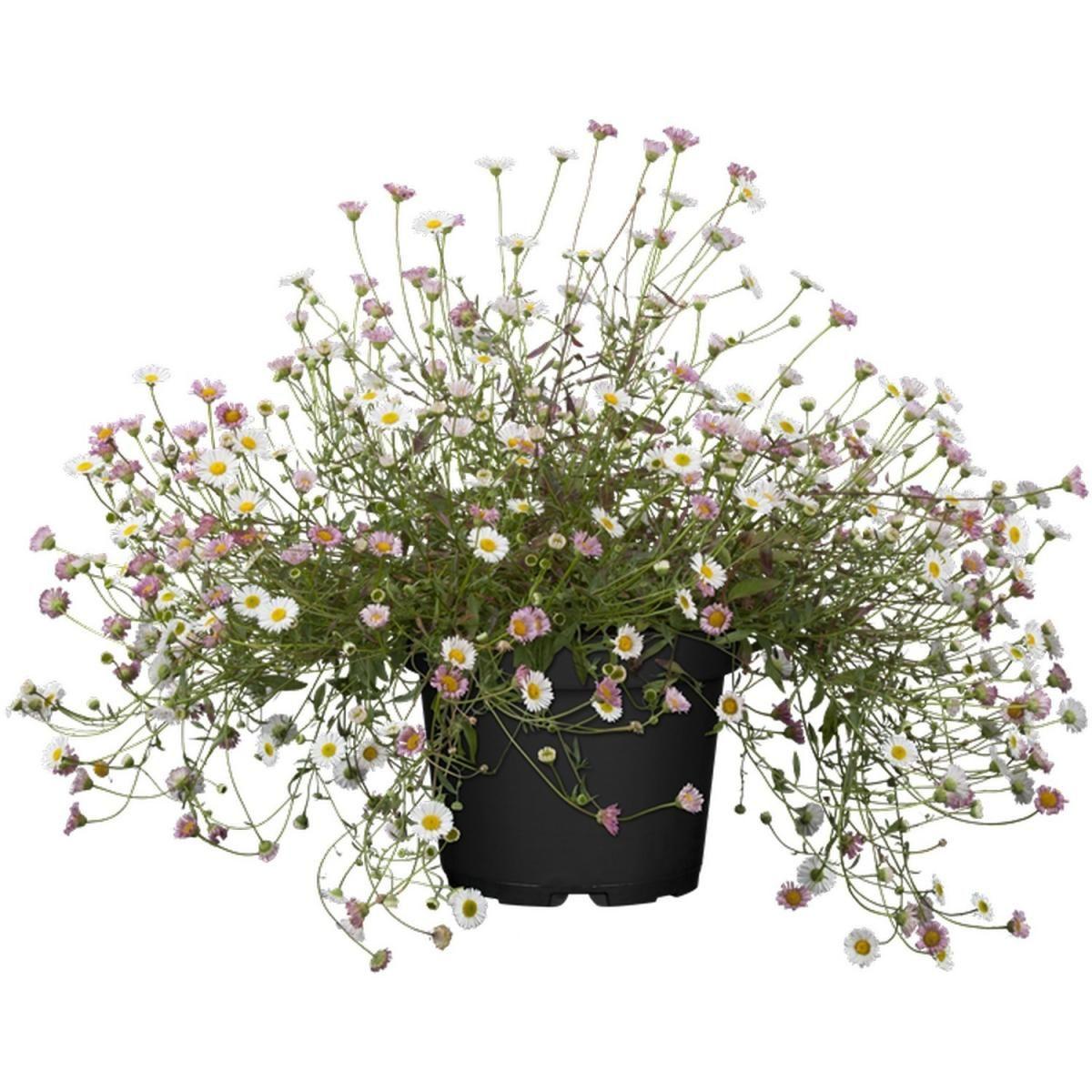 Ganseblumchen Verschiedene Farben Kaufen Bei Hellweg De Kubelpflanzen