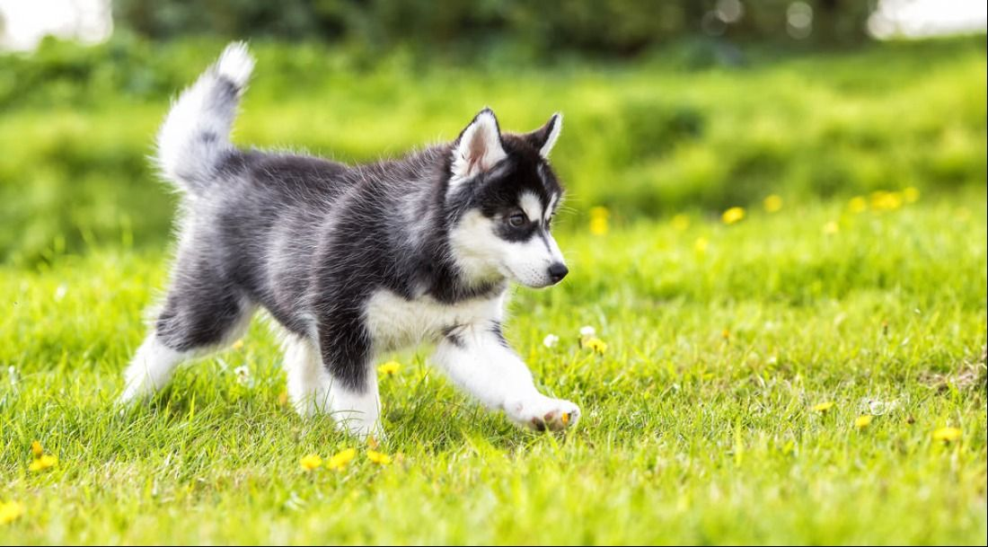 Best Quality Siberian Husky Puppies For Sale Singapore February