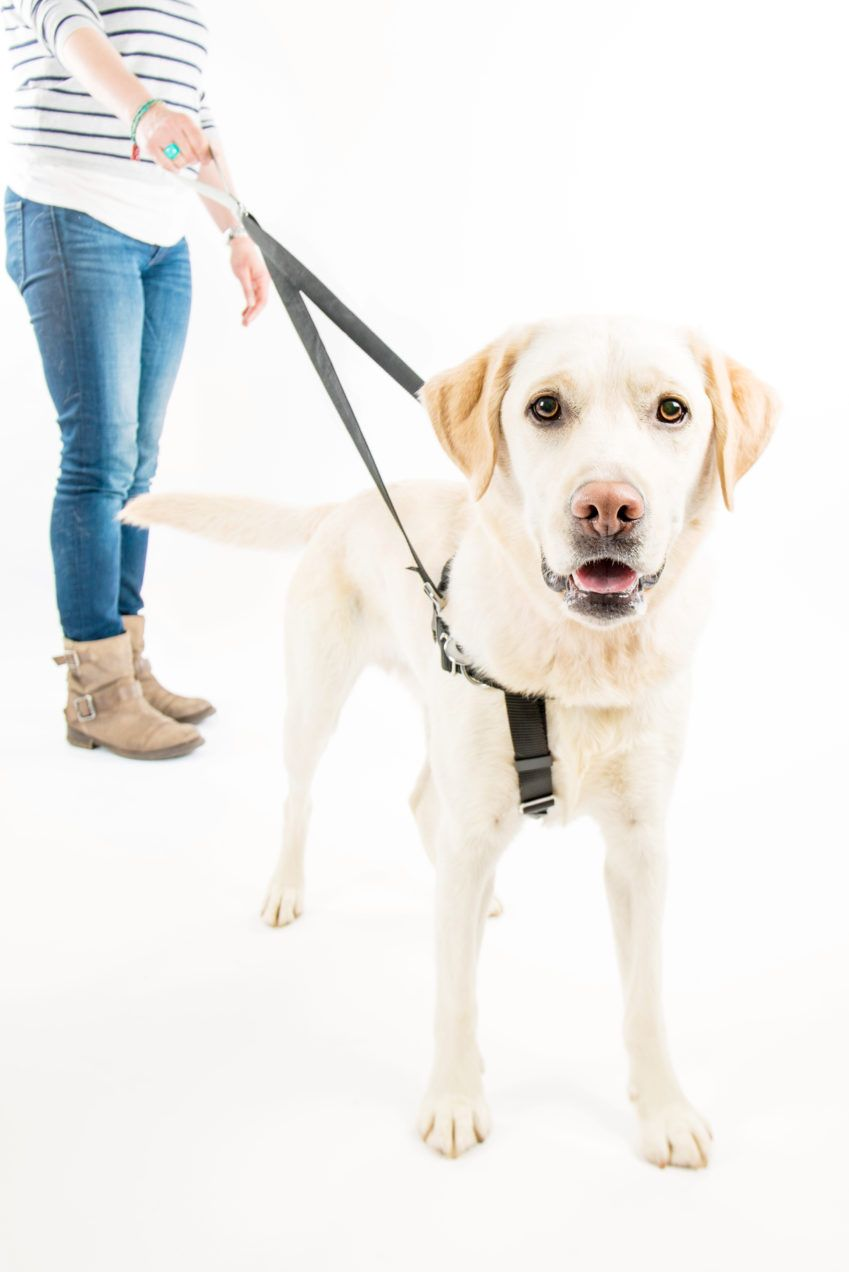 How To Fit A Dog Harness Dog Harness Dogs Your Dog