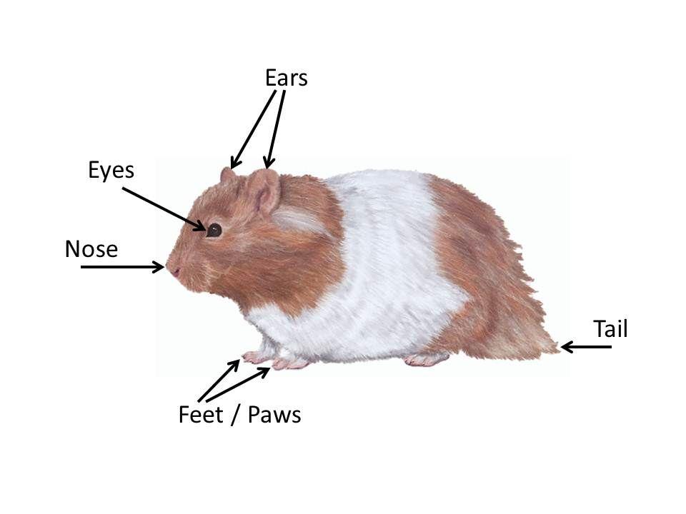 hamster anatomy - Google Search | For My Girl | Pinterest