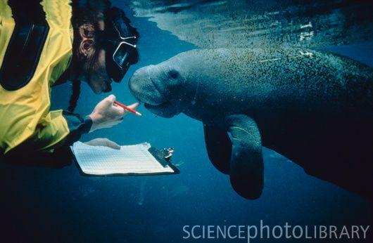 Marine biologist with manatee (Trichechus manatus) Peixes-boi - marine biologist job description