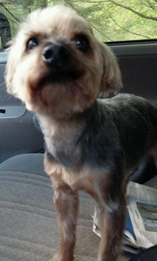 Adopt Amos On Small Dog Breeds Terrier Mix Dogs Yorkshire Terrier