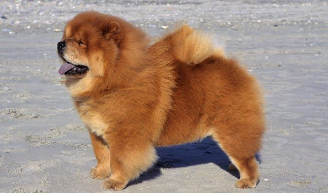 Chow Chow Breed Information Chow Dog Breed Dog Breeds Dogs