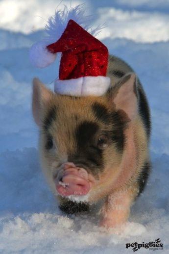Santa micro pig Check out petpiggies micro pig gifts www