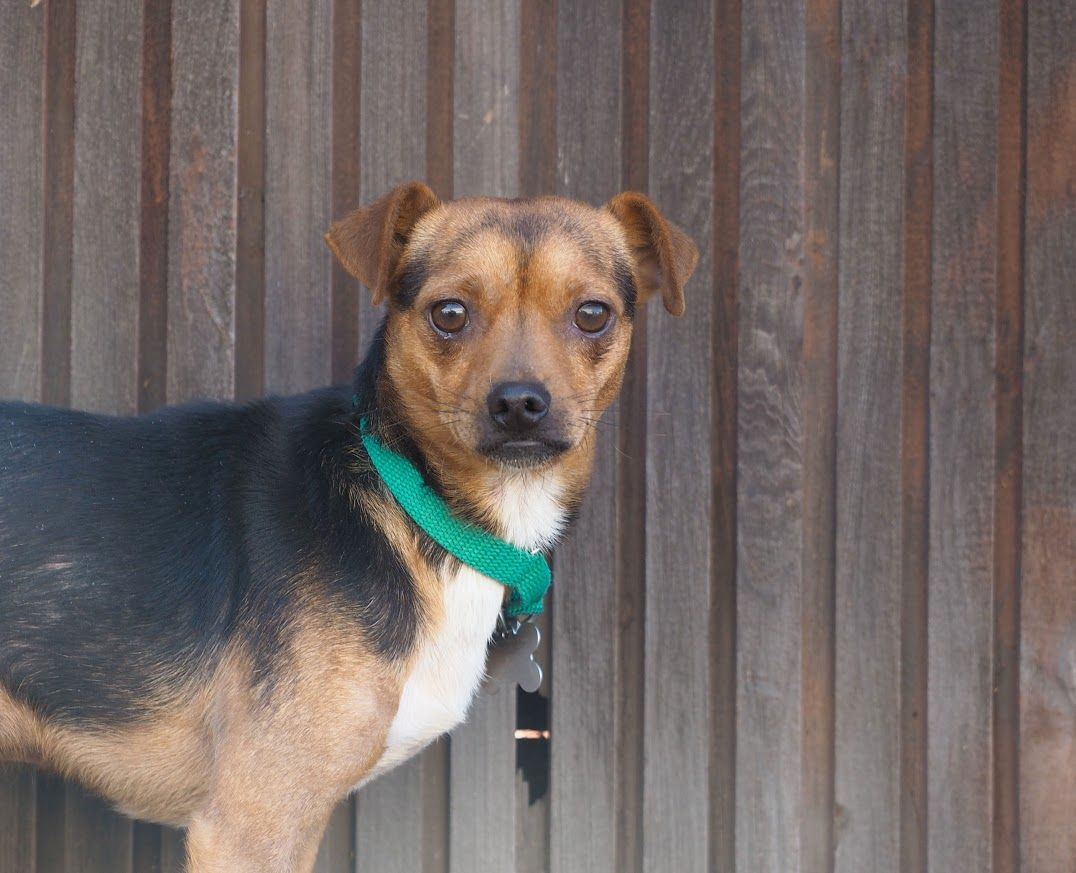 Beagle dog for adoption in palo alto ca adn698704 on