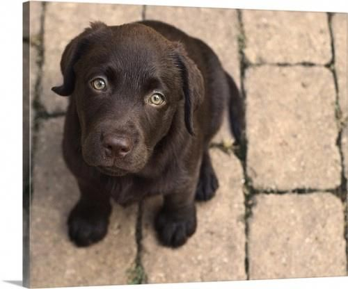 Premium Thick-Wrap Canvas Wall Art Print entitled Chocolate lab puppy looking up., None