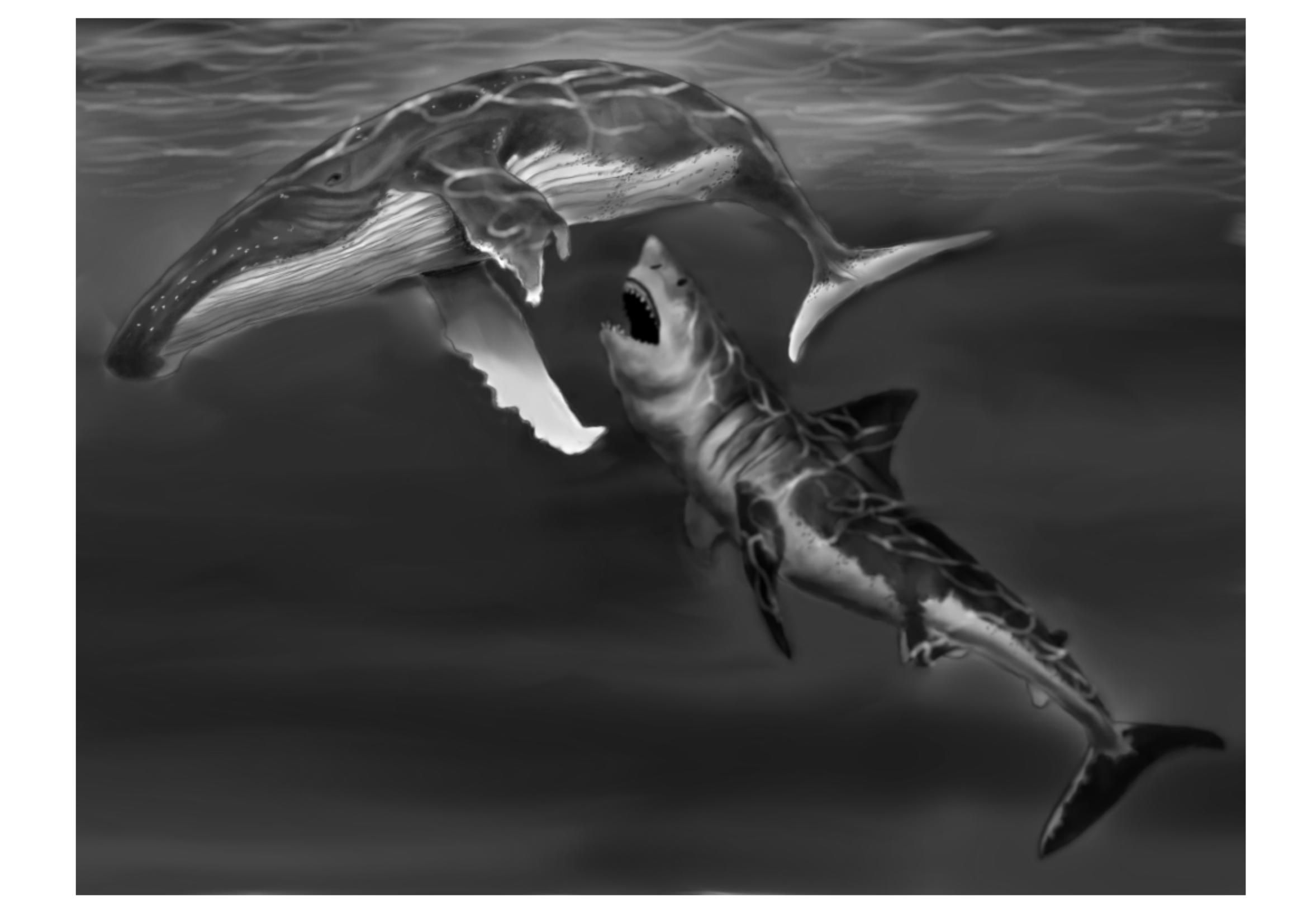 Final sketch of a Megalodon attacking a Humpback whale  A