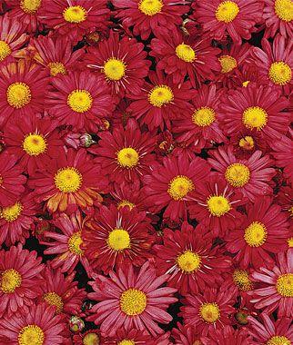 Garden Mum Mammoth Daisy Red Chrysanthemums At Burpee Com Garden Mum Red Chrysanthemums Fall Perennials