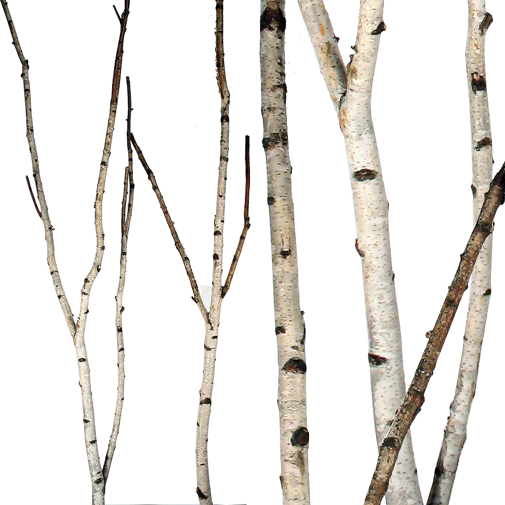Birch Forks 5 Up To 8 Birch Branches Tree Textures Branch Decor