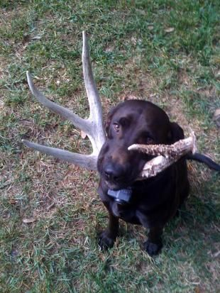 Training Your Dog To Find Shed Antlers With Images Shed