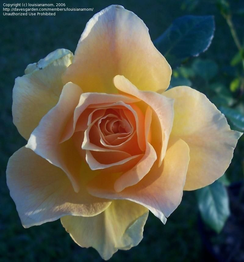 Easy Going Floribunda Rosas Capullo