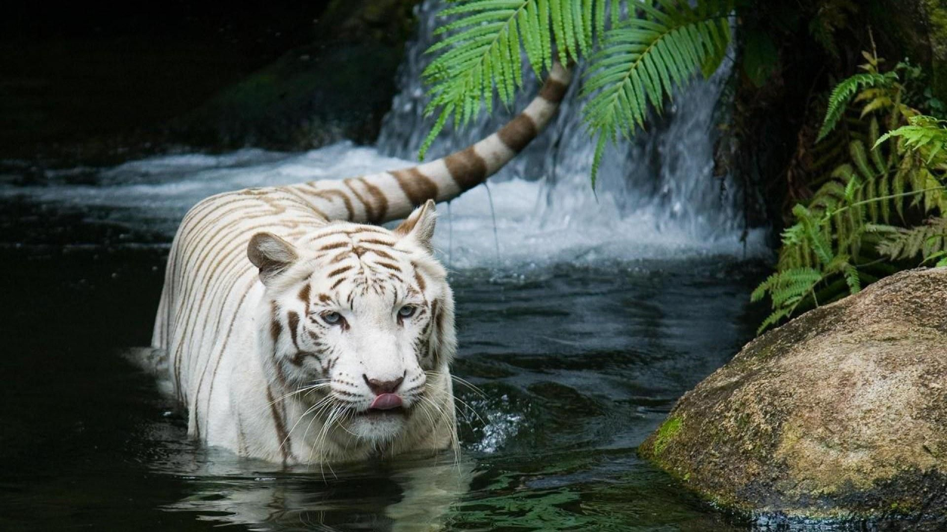Hd Wallpapers 1080p Hd Wallpapers White Tiger Wallpaper Hd