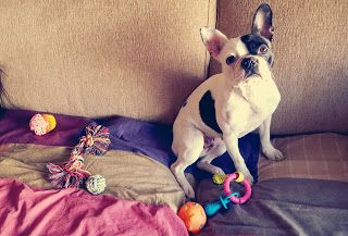 Hope the frenchie: Stuff at home