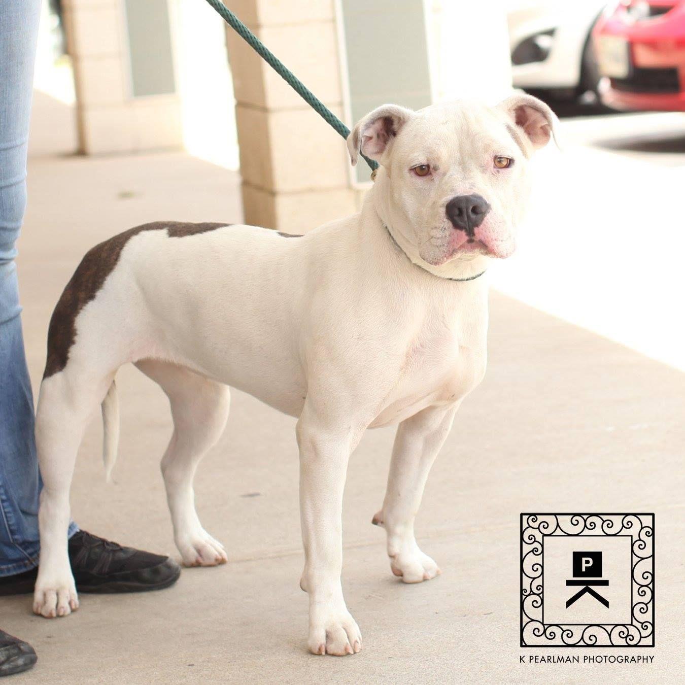 American Bulldog Dog For Adoption In Fredericksburg Va Adn
