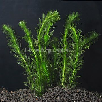 Anacharis care level easy lighting moderate placement for Easy aquatic plants
