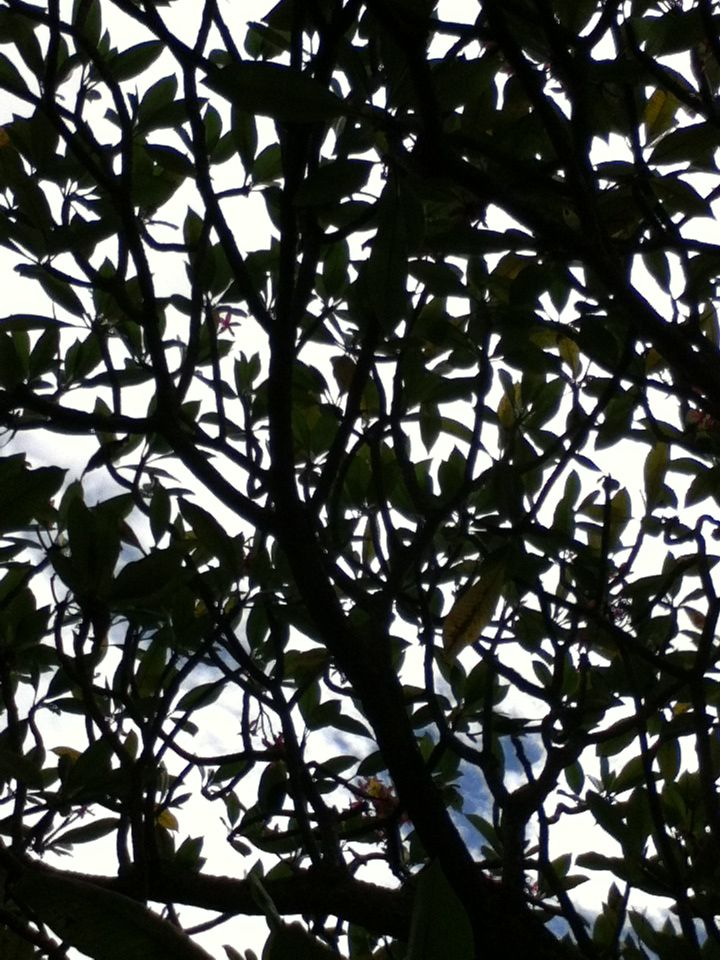 Plumeria tree silhouetted against the sky