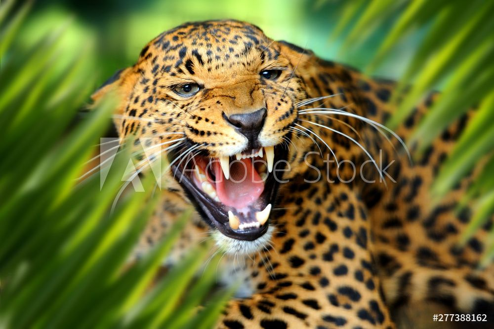 Leopard Portrait In Jungle Wall Mural Nature Landscapes Themed Premium Canvas Wall Art Standard In 2021 Wild Animals Pictures Animal Wallpaper Wild Animal Wallpaper Leopard roar wallpaper 1920x1080 jpg