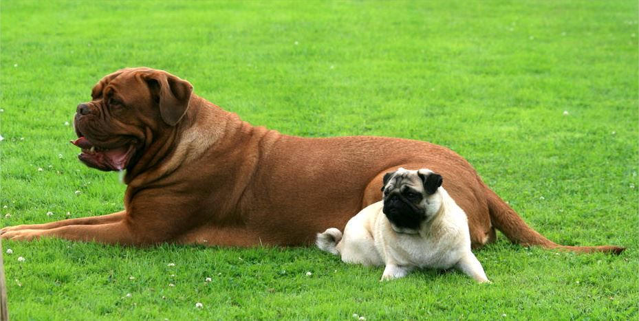 Pug Dogue De Bordeaux French Mastiff Dog Canine Pet