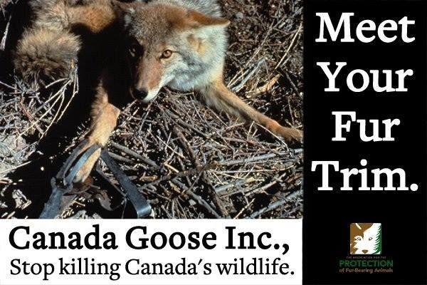 canada goose coyote fur controversy