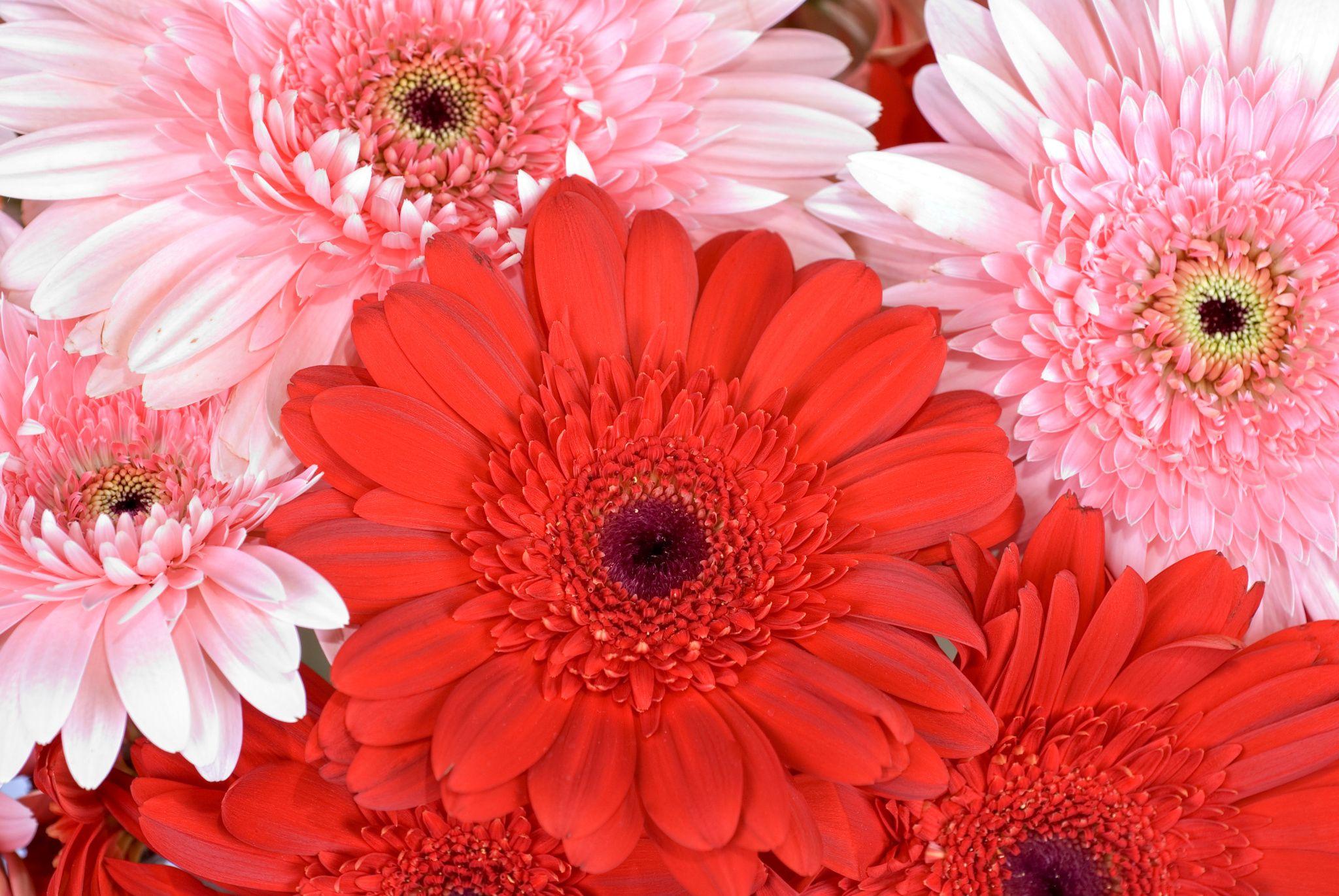 Gerbera Flowers Gerbera Gerbera Daisy Flowers