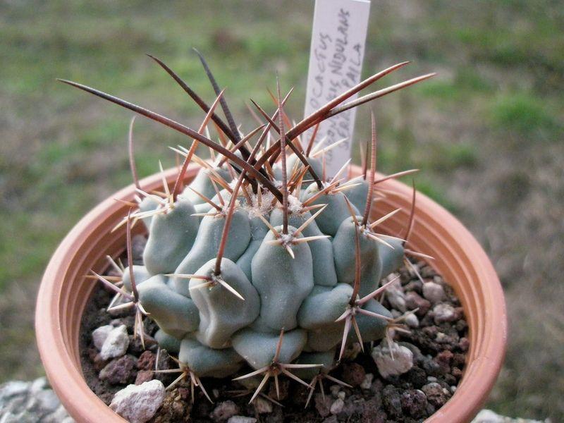 Thelocactus rinconensis ssp nidulans