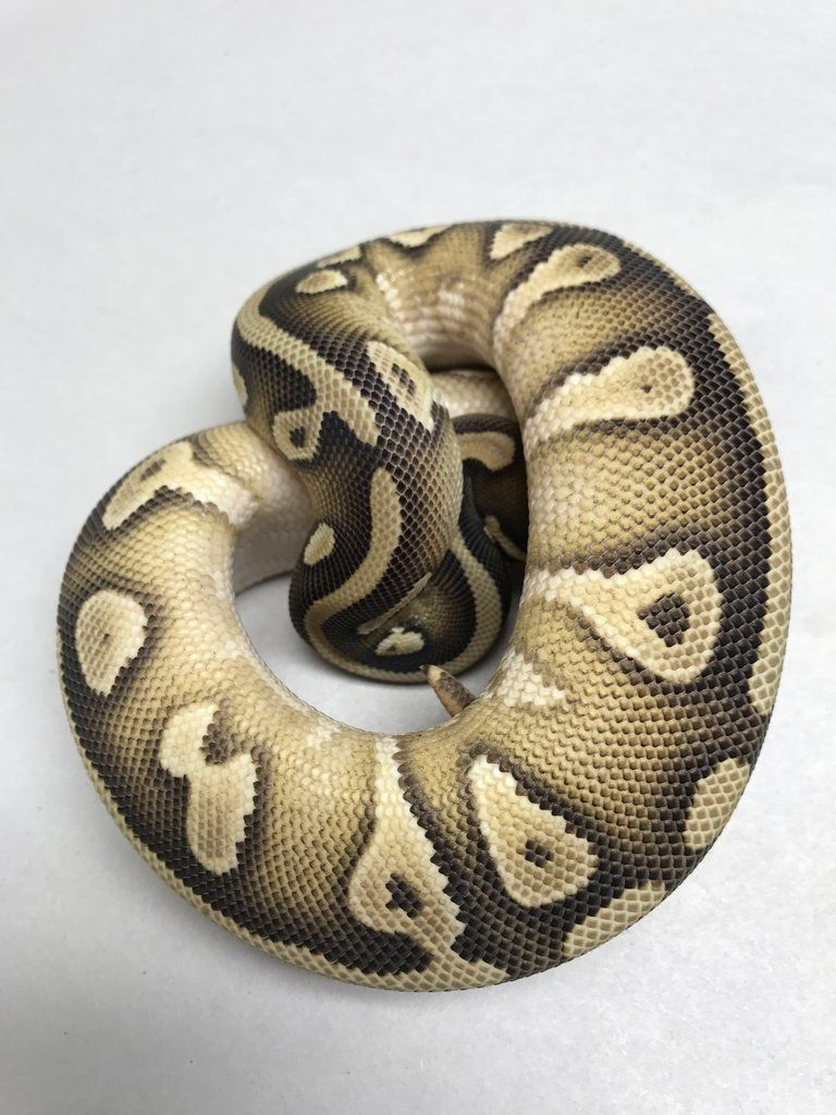 Adult Ball Python For Sale - Xxx Pics-5514