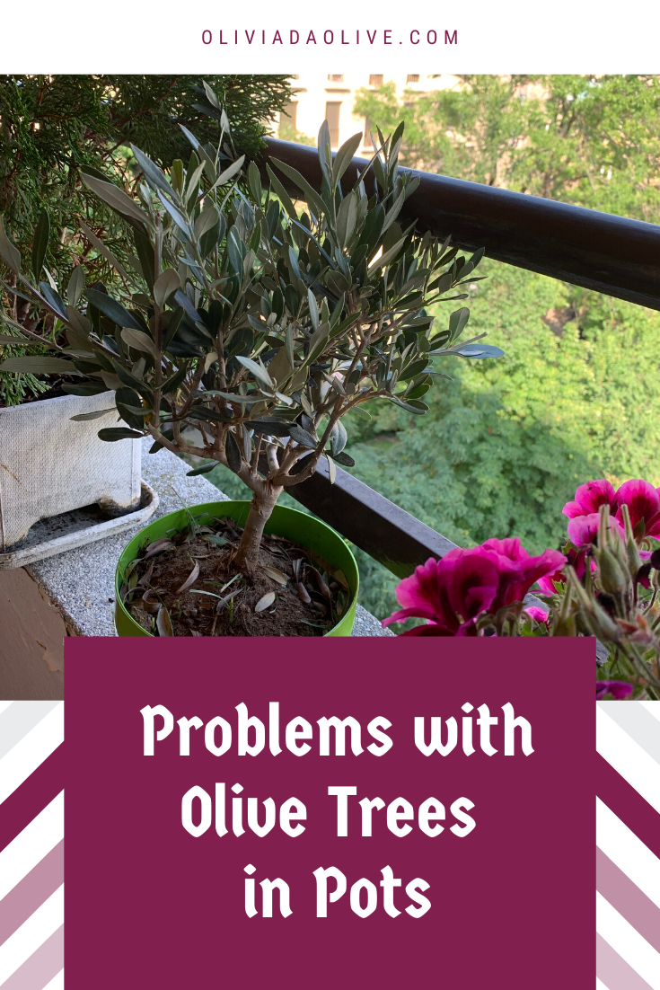 Problems With Olive Trees In Pots In 2020 Potted Olive Tree Potted Trees Olive Tree Care