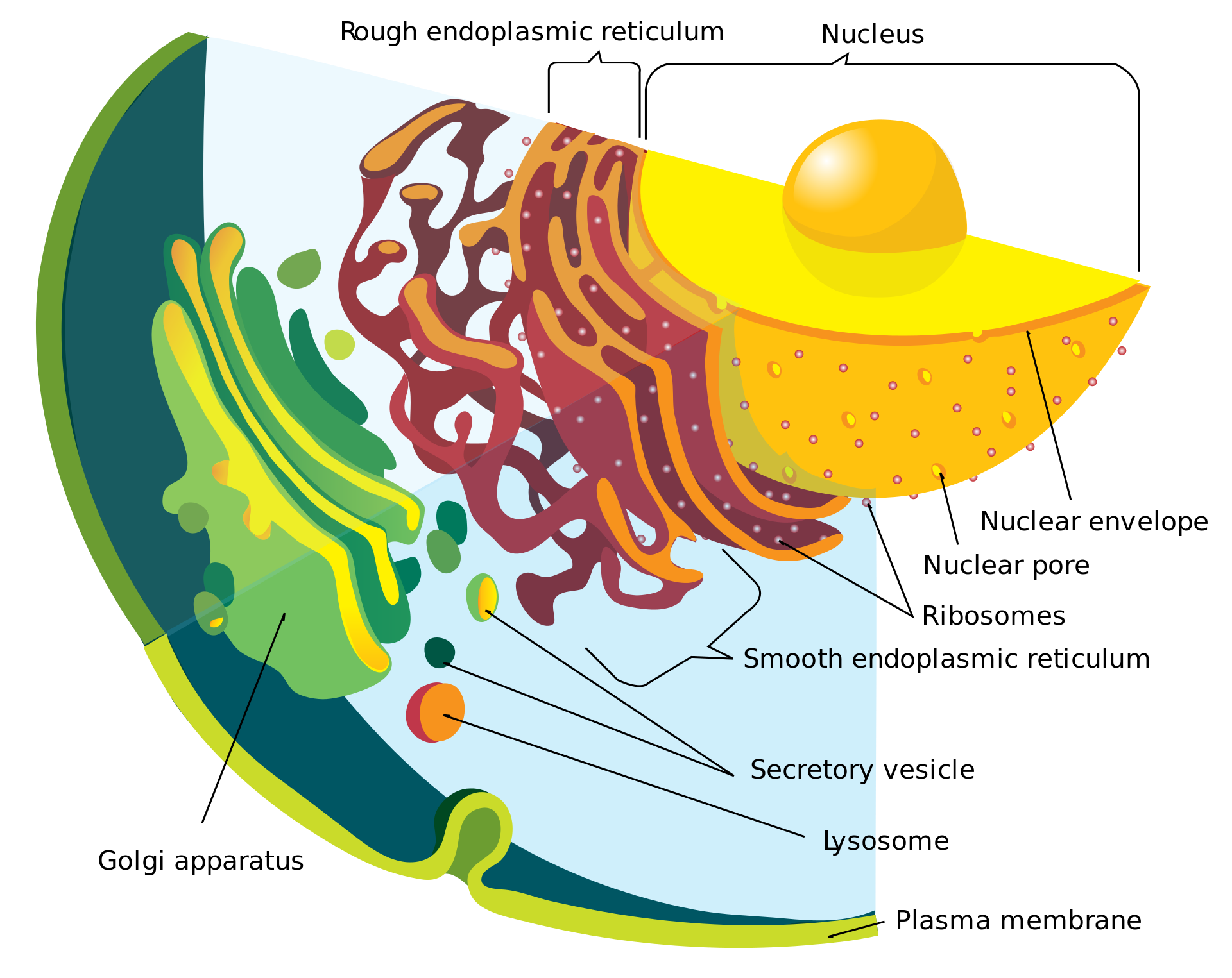 Cell Membrane Function In Eukaryotic Cells