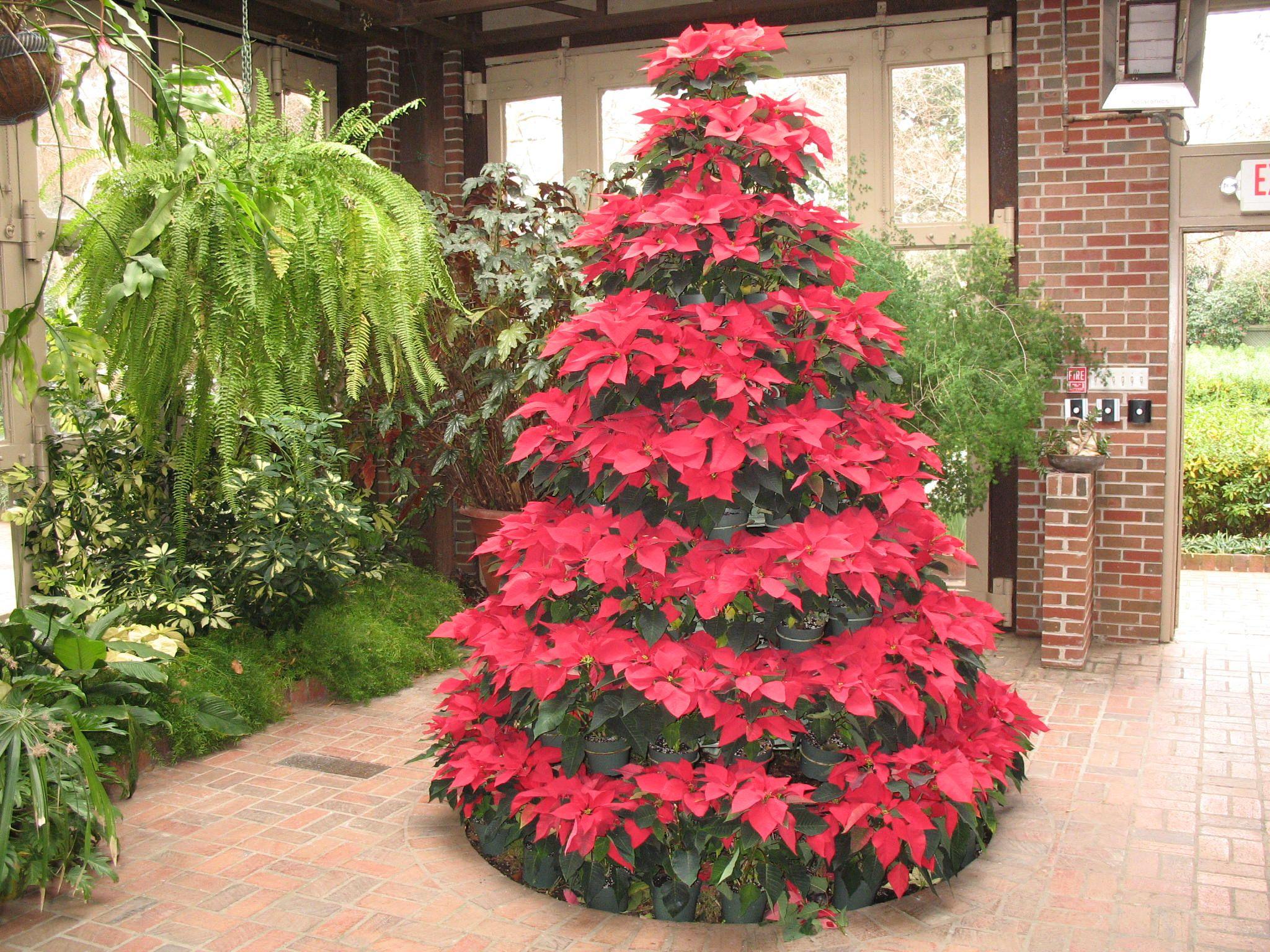Euphorbia Pulcherrima Euphorbia Pulcherrima Onlineplantguide Com 3414 Christmas Plants Poinsettia Tree Christmas Tree Skirt