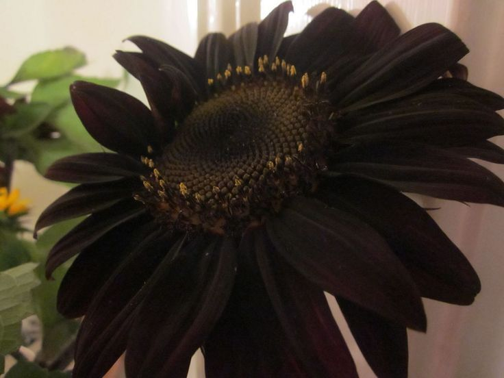 Gorgeous 25+ Black Flower Garden Ideas for Inspiration is part of Black flowers, Black sunflower seeds, Flower garden, Black garden, Gothic garden, Garden design ideas on a budget - Gorgeous 25+ Black Flower Garden Ideas for Inspiration Nice Gorgeous 25+ Black Flower Garden Ideas f