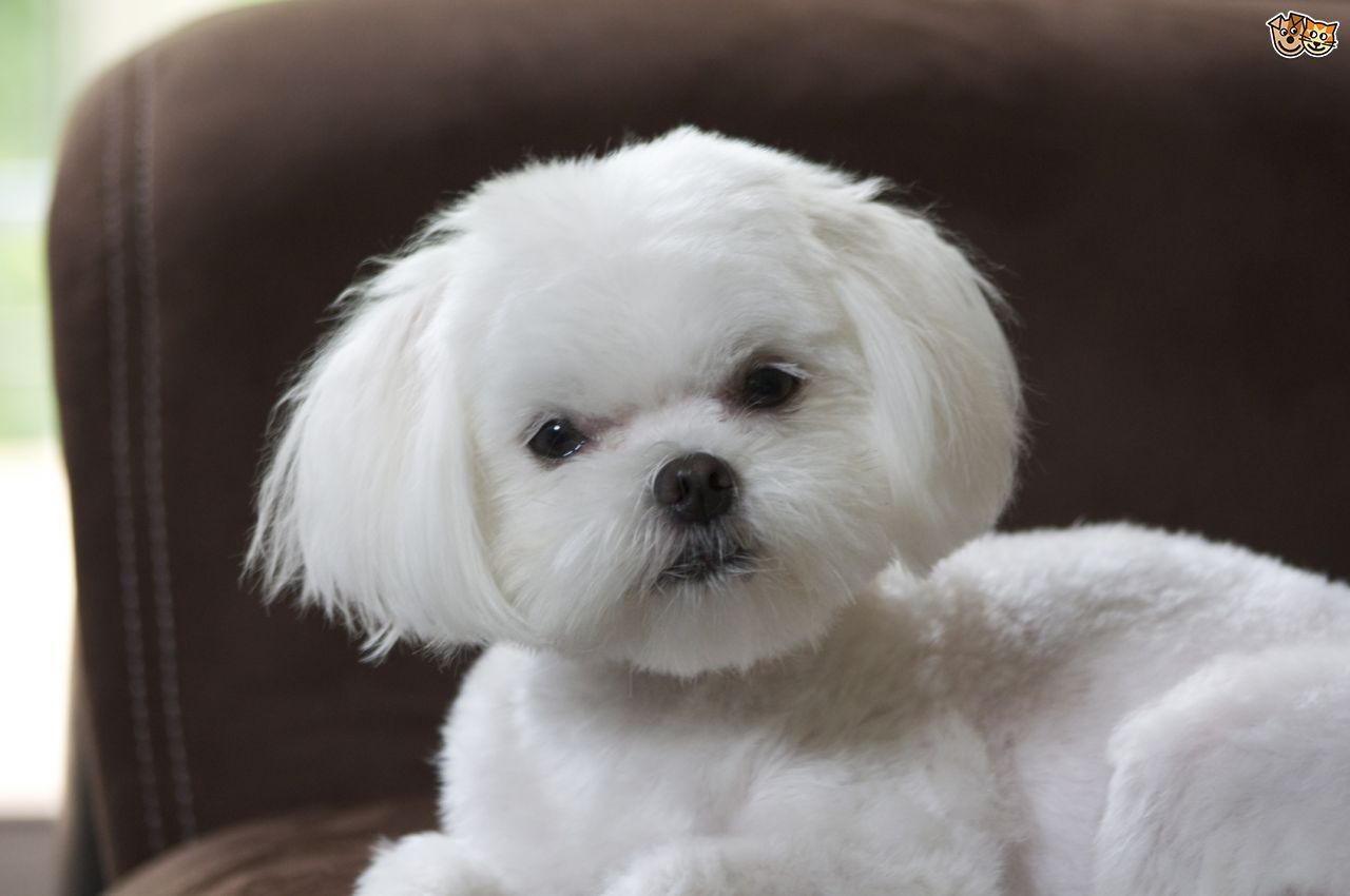 10 Fun And Easy Tricks You Can Teach Your Dog Maltese Dogs Dogs