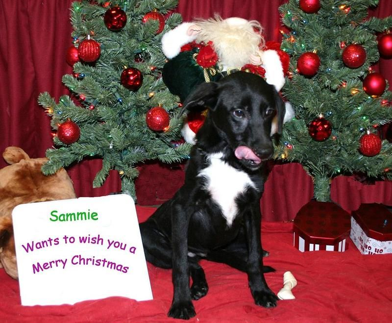 Available for adoption - Sammie is a male dog, Collie Mix, located at Puppy Love Rescue in West Bend, WI.
