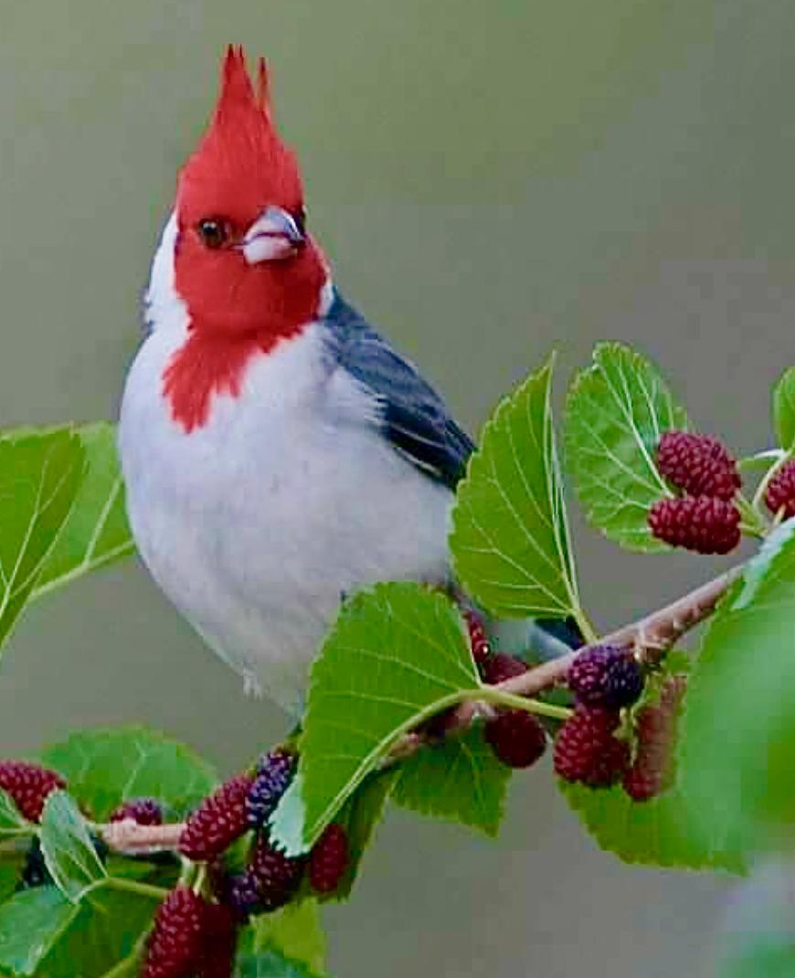 Northern Cardinal Cardinal Rouge Pajaros De Vivos Colores Pajaros Cardenales Ave Silvestre