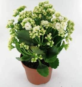 kalanchoe whitesend houseplants flowers to armenia online - White Flowering House Plants