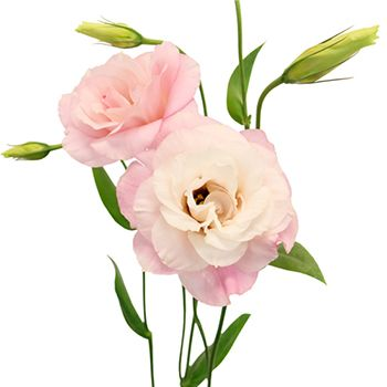 Light pink lisianthus flower for october to may delivery pinterest medium pink lisianthus flower mightylinksfo
