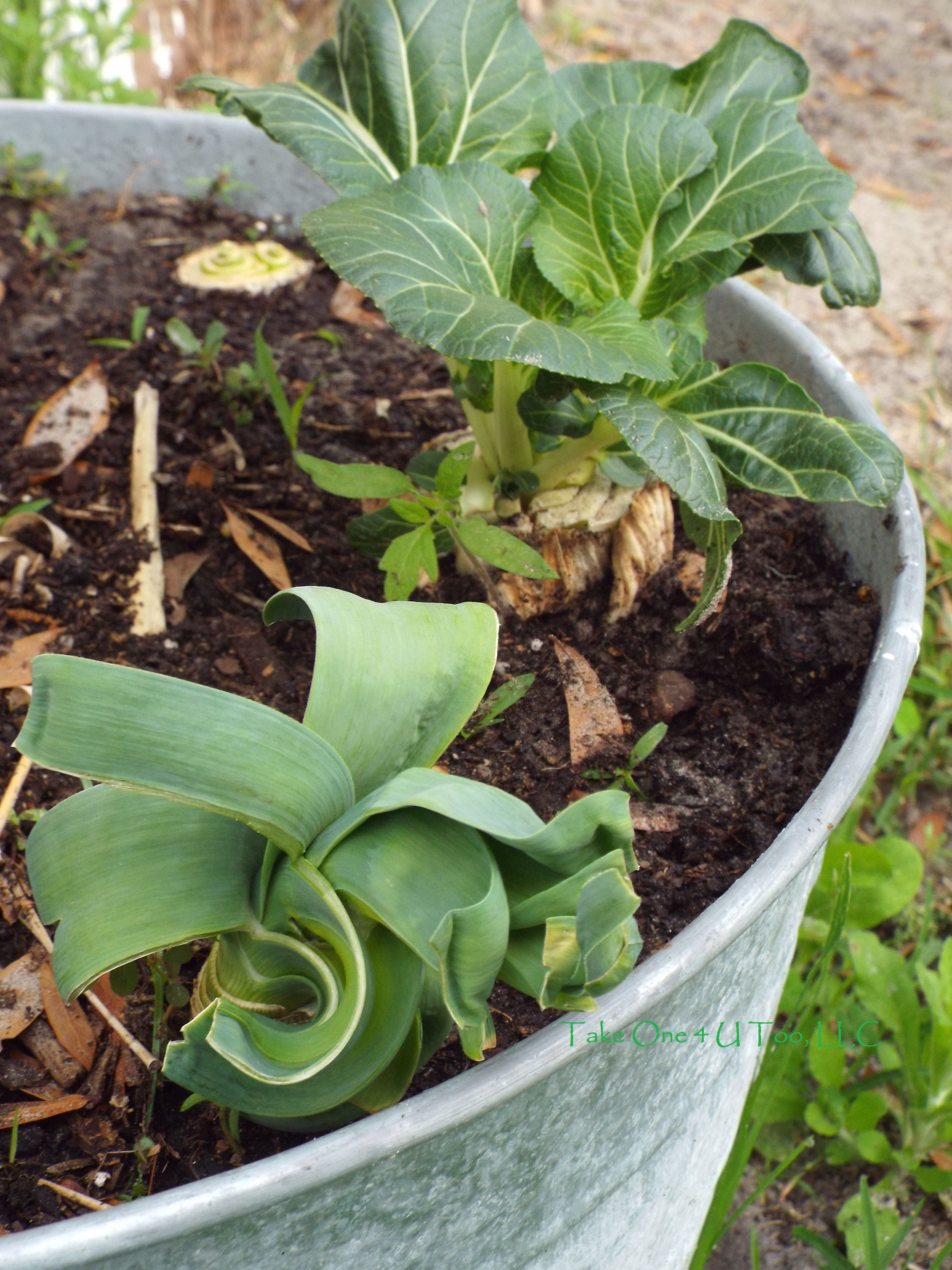 Fresh Veggies. Growing your own food at home is healthier for your body and your wallet.  Growing leeks & bokchoy with discarded ends. Source: Take One 4 U Too, LLC.