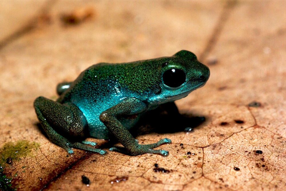 amazingfrog #poisondartfrogs #toad #reptiles #creatures #smile #nature #projects #animales