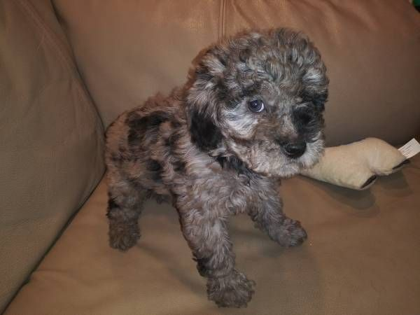 Mini poodle puppy pets Poodle puppy, Mini poodles
