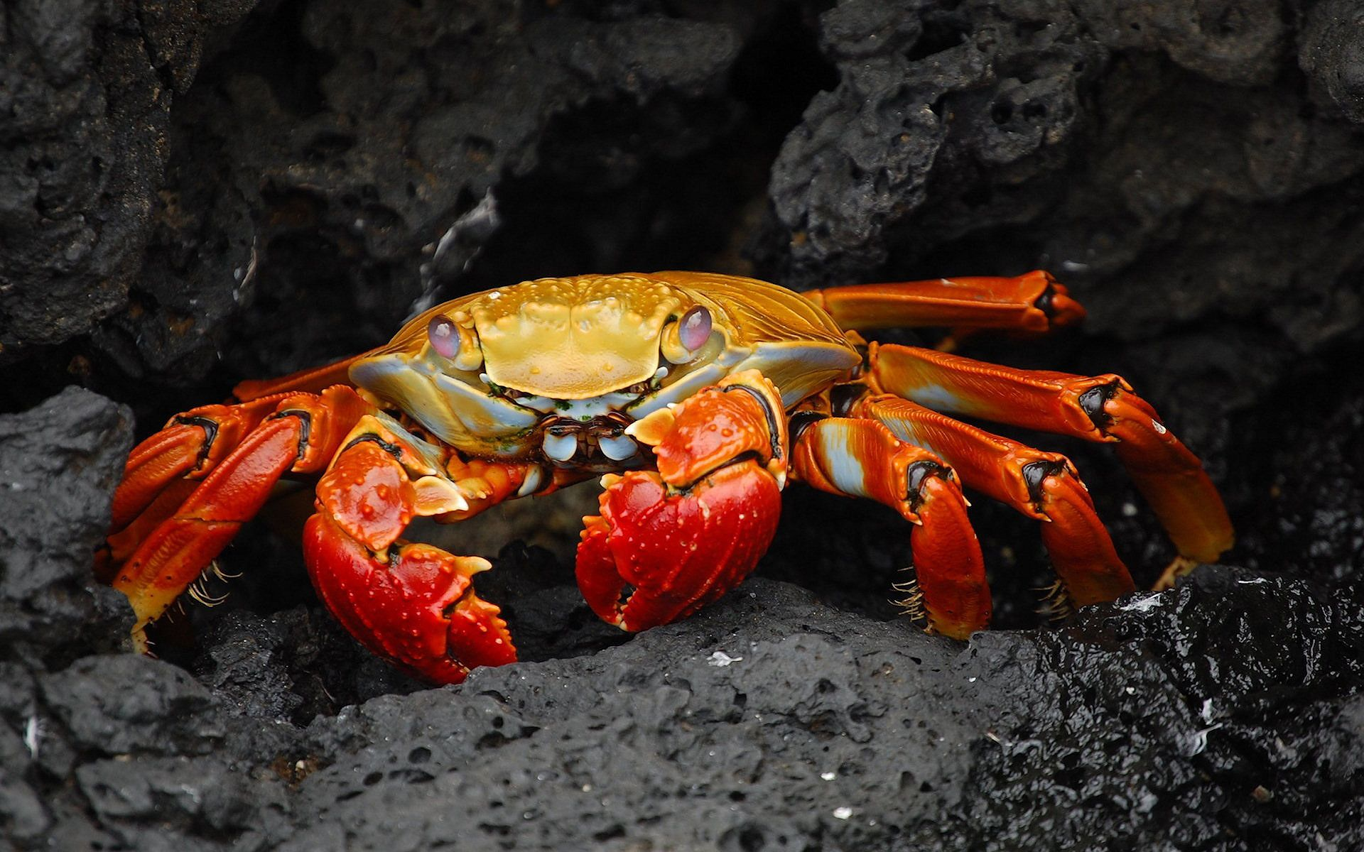 Ultra HD Red colored Crab