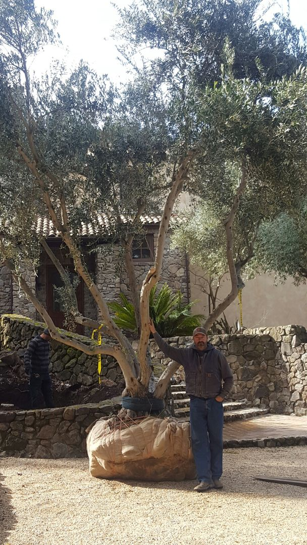 Large Olive Trees For J S Land Services California Atherton Napa Palo Alto San Jose Santa Barbara